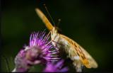 Heleconinae (Pärlemofjäril) - Öland