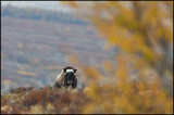 Female Muskox in autumn landscape