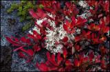 Alpine bearberry (Ripbär) in wonderful autumn colors