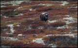 Musk Ox on Dovrefjell in autumn colors