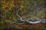 Fjällnäs autumn colors