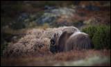 Mysk Ox bull on Dovrefjell