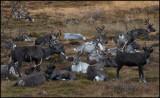Reindeers at Brekka near Swedish border