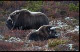 Musk ox bull & calf