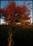 Swedish Whitebeam (Oxel) in sunset light - Ottenby