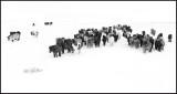 Iceland horses gathering in extreme wind