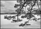 Old pine tree near Kronoberg