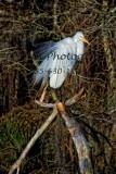 Egret 31