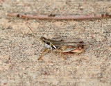 Lakin Grasshopper