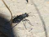 Tiger Beetle (Cicindela purpurea audubonii)