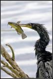 darters_and_cormorants