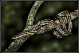 Intergrade  Rat  Snake (Elaphe o. spiloides X Elaphe o. quadrivitta)