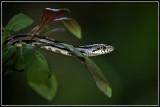 Gray Rat Snake (Elaphe obsoleta spiloides)
