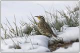 Western Meadow Lark (Sturnella neglecta)