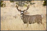 mule_deer