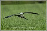 swallowtailed_kites