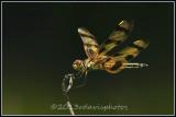 dragonflies_and_damselflies
