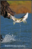 Last Moments of a Pink Salmon (Oncorhynchus gorbuscha)