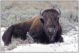 american_bison