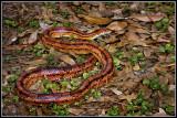 Corn Snake aka Red Rat Snake