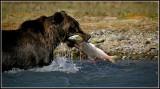 Alaska Brown Bear with Pink Salmon
