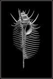 Venus Comb (Murex pectin)