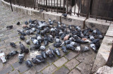Pigeons at Montmartre