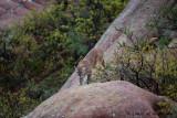 Looking For Mule Deer