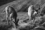 Spring Mulies