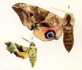 A Eyed Hawk Moth - Smerinthus ocellata