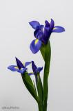 Irises (Week 26)