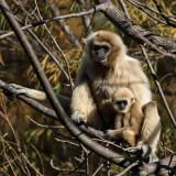 Gibbons (Dec)