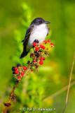 Kingbird on berries