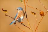 Autumn Bluebird