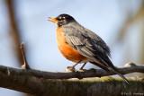 Robin song