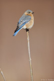 Resting Bluebird