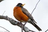 Robin, cloudy morning