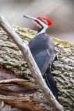 Alert Woodpecker