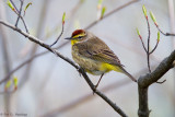 Spring Palm Warbler