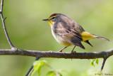 Warbler on a limb