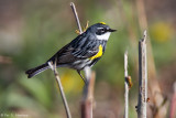 Male Yellow-rumped