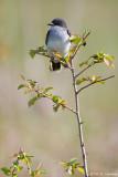 Kingbird in sun
