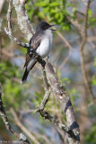 Singing Kingbird