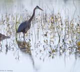 Heron in marsh