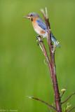 Bluebird and moth
