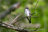 Kingbird in tree