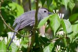 Hiding Catbird