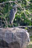 Heron on a rock