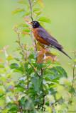 Robin in field