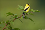 Goldfinch on green